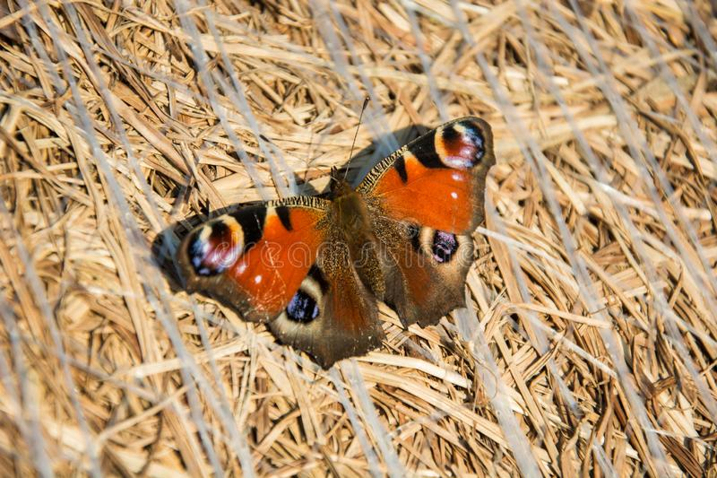 European peacock butterfly sitting on a bale of hay stock images