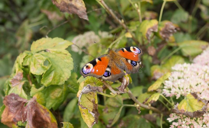 European Peacock butterfly sitting on a dry vine leaf. In autumnal garden stock image