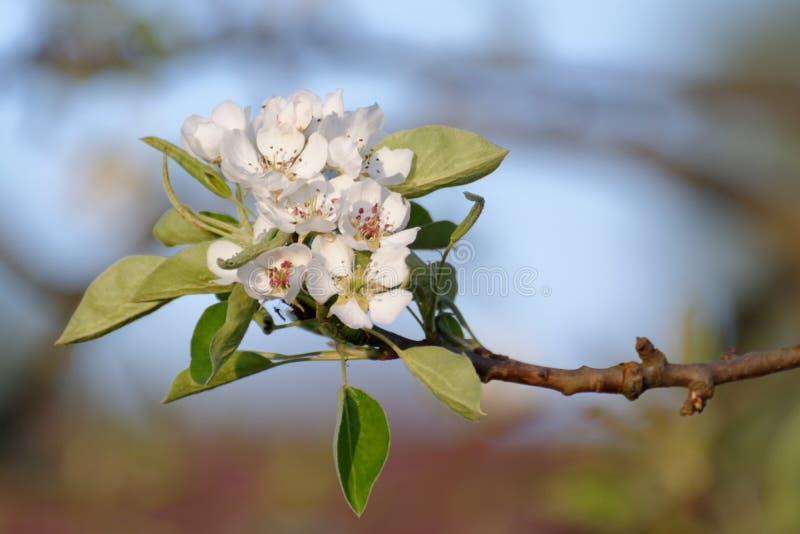 European pear flowers royalty free stock photos
