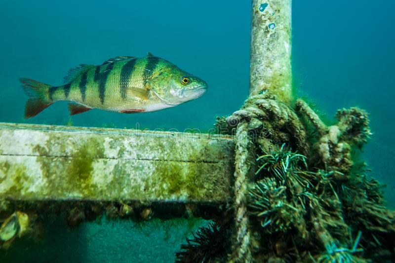 European perch, a common freshwater fish in Germany royalty free stock photo