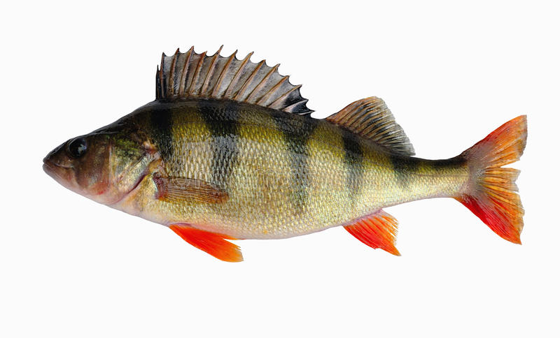 European perch (Perca fluviatilis L. ) stock photo