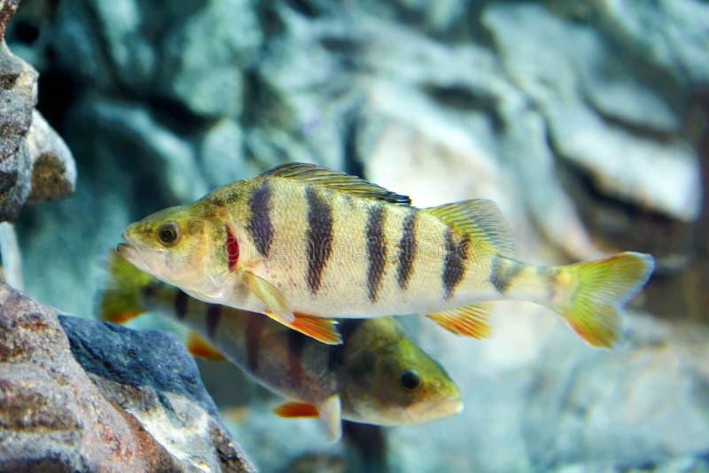 European perch, striped predatory fish in freshwater aquarium. stock photo