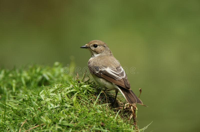Nice little European pied flycatcher royalty free stock photos