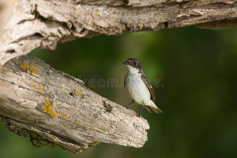 European Pied Flycatcher. On a branch stump royalty free stock photography