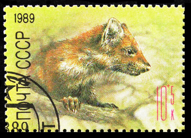 European Pine Marten (Martes martes), ZOO Relief Fund serie, circa 1989 royaltyfria bilder