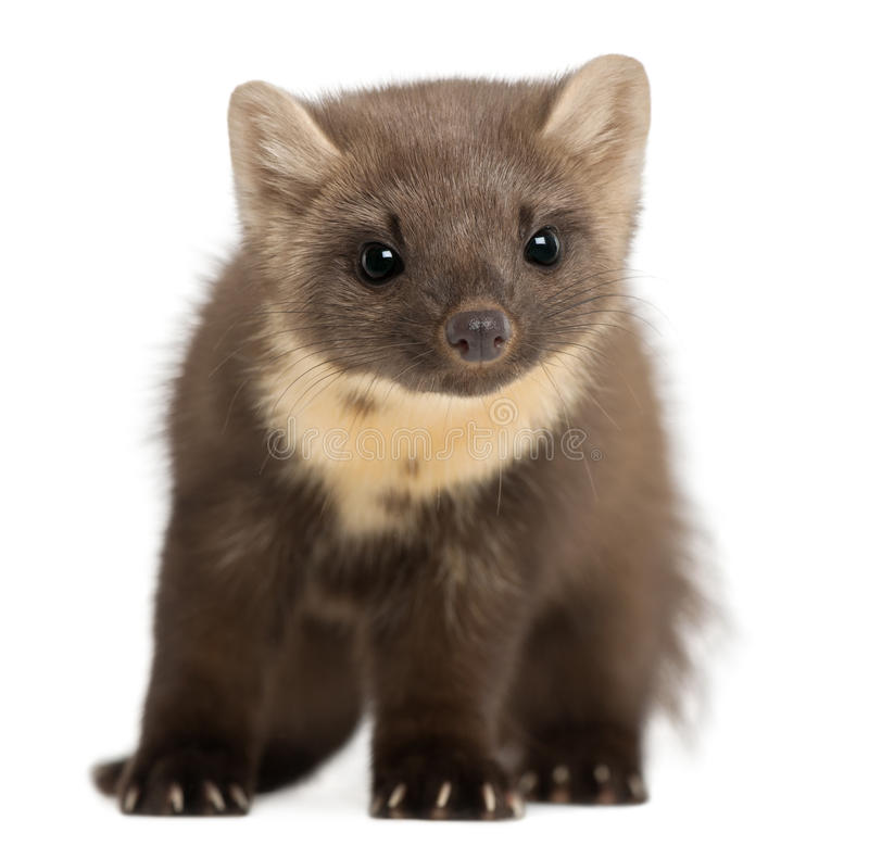 European Pine Marten or pine marten. Martes martes, 4 years old, standing against white background royalty free stock images