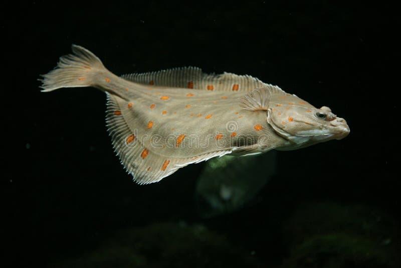 European plaice fish. (Pleuronectes platessa stock photography