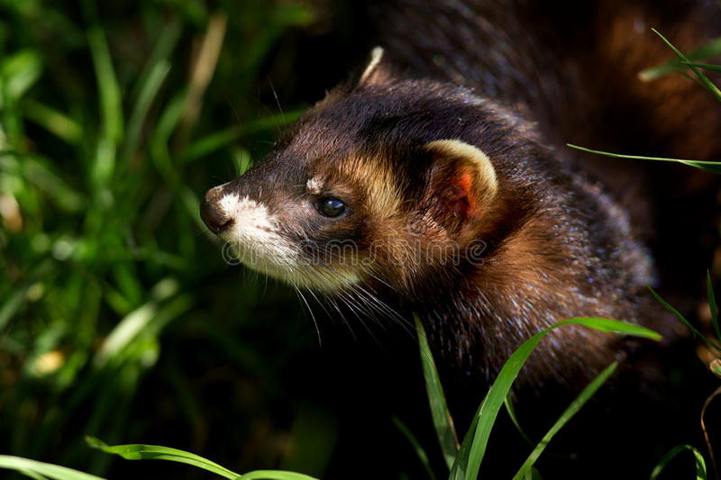 Download European Polecat stock image. Image of mammal, forestal - 18132505