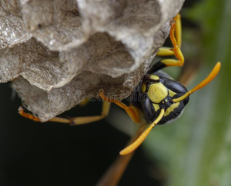 European Polistes galicus wasp hornet taking care of his nest. And larvae stinger industriously diligent insect allergy honeycomb garden feelers move animal royalty free stock photos