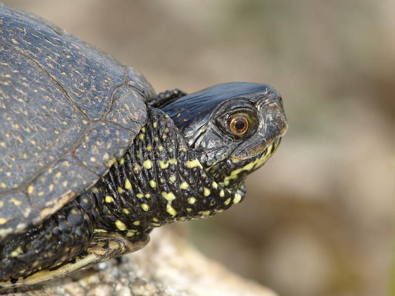 Download European Pond Terrapin (Emis Orbicularis) Stock Photo - Image: 19500510