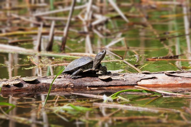 European pond terrapin, Emys orbicularis, adult freshwater turtle, rest on a fallen tree log in direct sunshine royalty free stock photography