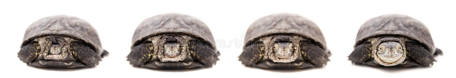 Download European Pond Terrapin On White Stock Photo - Image of herpetology, brown: 42180672