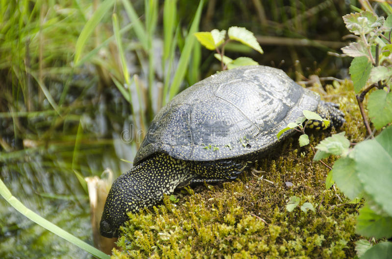 Download European Pond Turtle Royalty Free Stock Image - Image: 34228126
