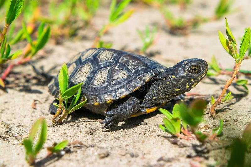 European Pound Turtle royalty free stock photography