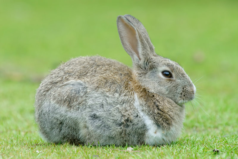 European Rabbit. (Oryctolagus cuniculus). The  became a plague in Tierra del Fuego after its introduction a few decades ago in Patagonia stock image