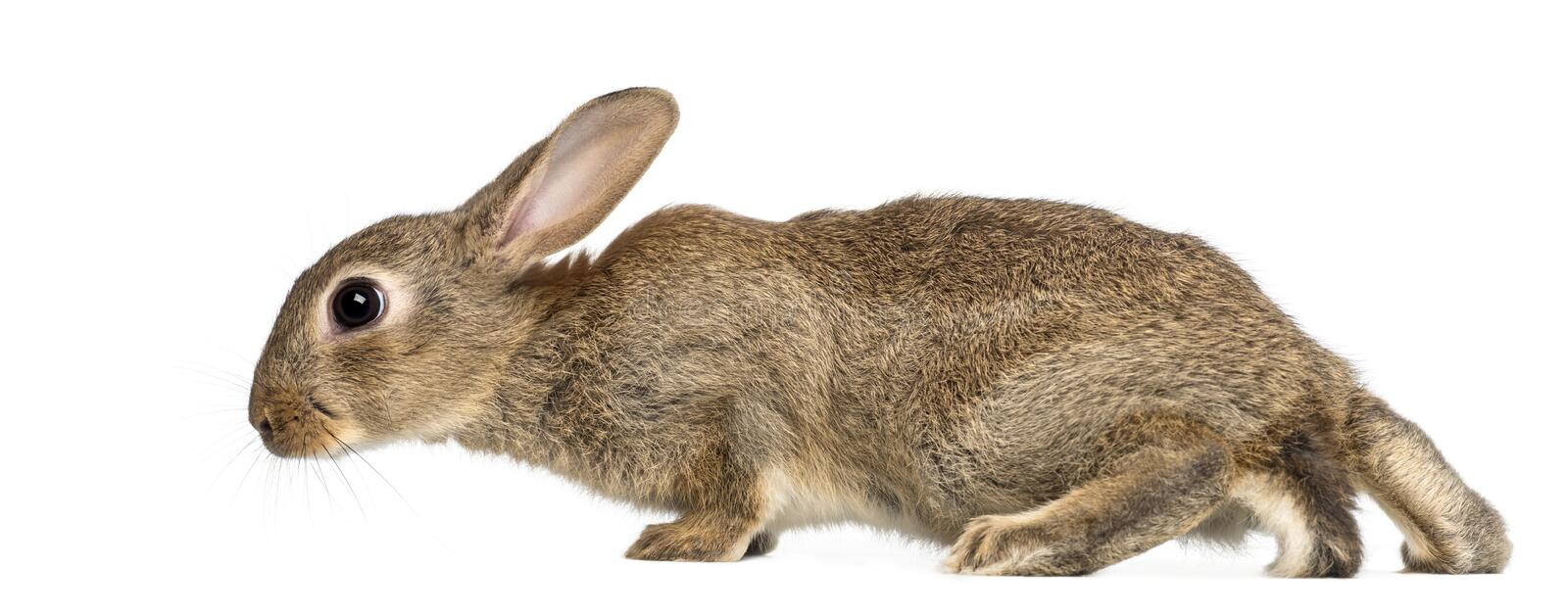 European rabbit or common rabbit, 2 months old stock photography
