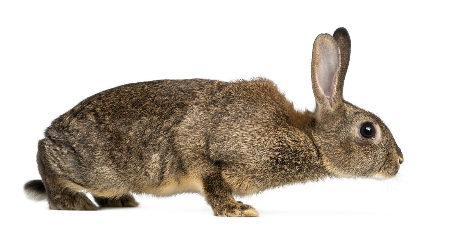 European rabbit or common rabbit, 3 months old, Oryctolagus cuniculus against white background stock photography