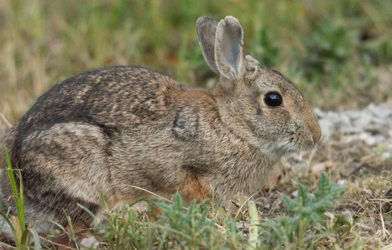 European rabbit. The European rabbit or common rabbit is a species of rabbit native to southwestern Europe and northwest Africa royalty free stock photos