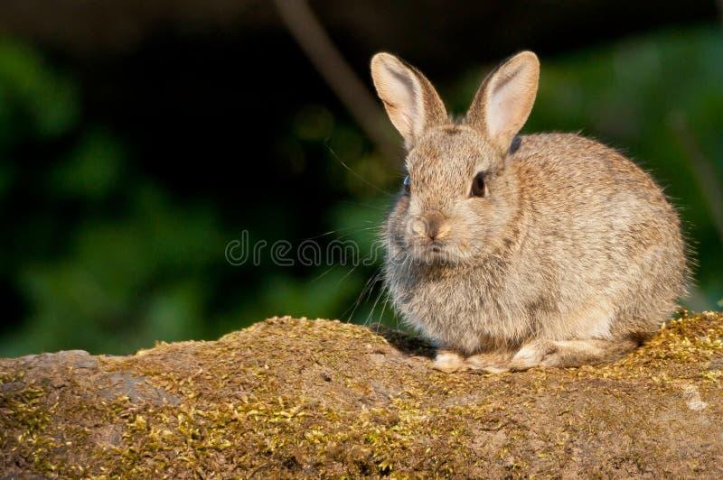 European Rabbit kitten royalty free stock photos