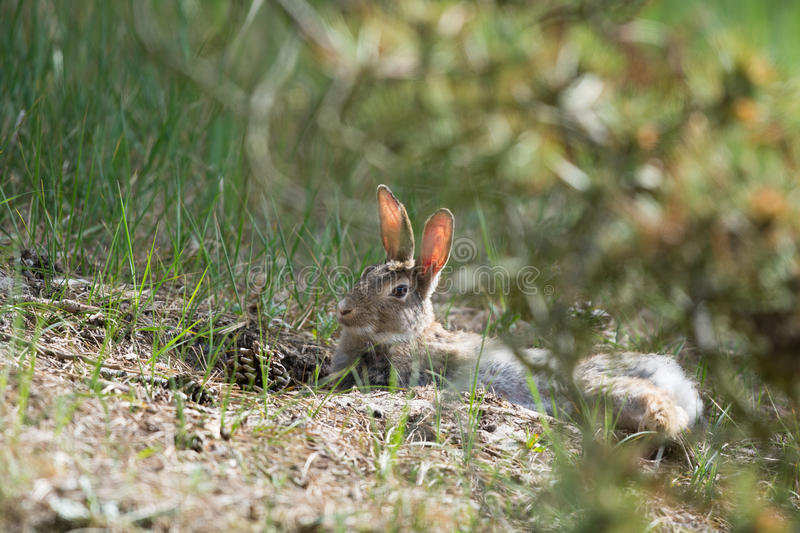 European rabbit in nature royalty free stock photography