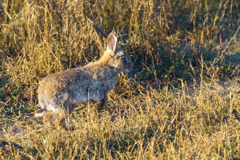 European Rabbit (Oryctolagus cuniculus royalty free stock photos