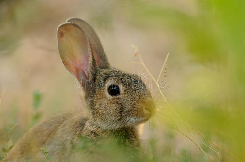 European Rabbit (Oryctolagus Cuniculus). This little bunny you can also call common rabbit stock photo