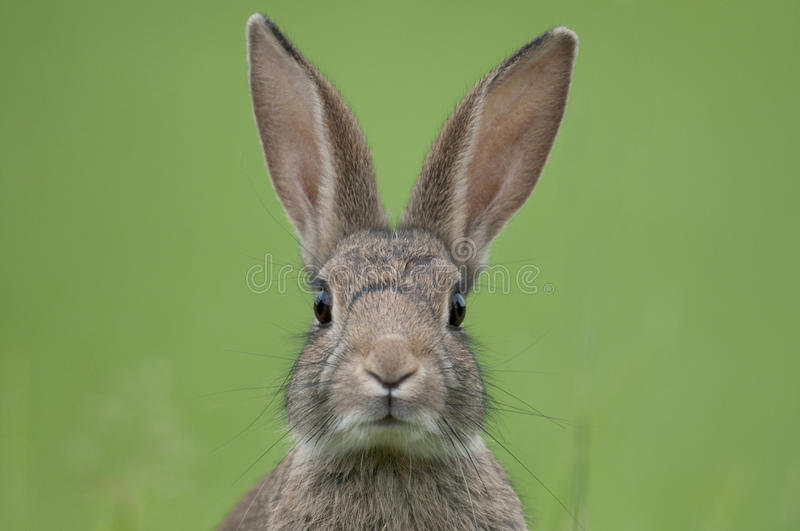 European rabbit (Oryctolagus cuniculus). Close up of face royalty free stock images