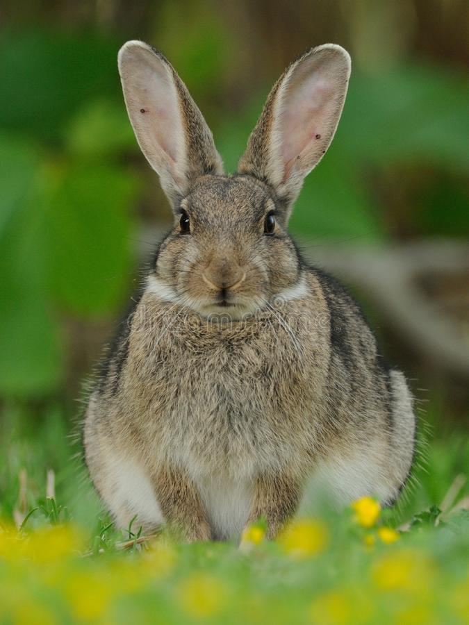 European Rabbit (Oryctolagus Cuniculus). This little bunny you can also call common rabbit stock photography