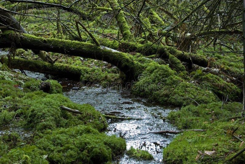European rain-forest royalty free stock photography