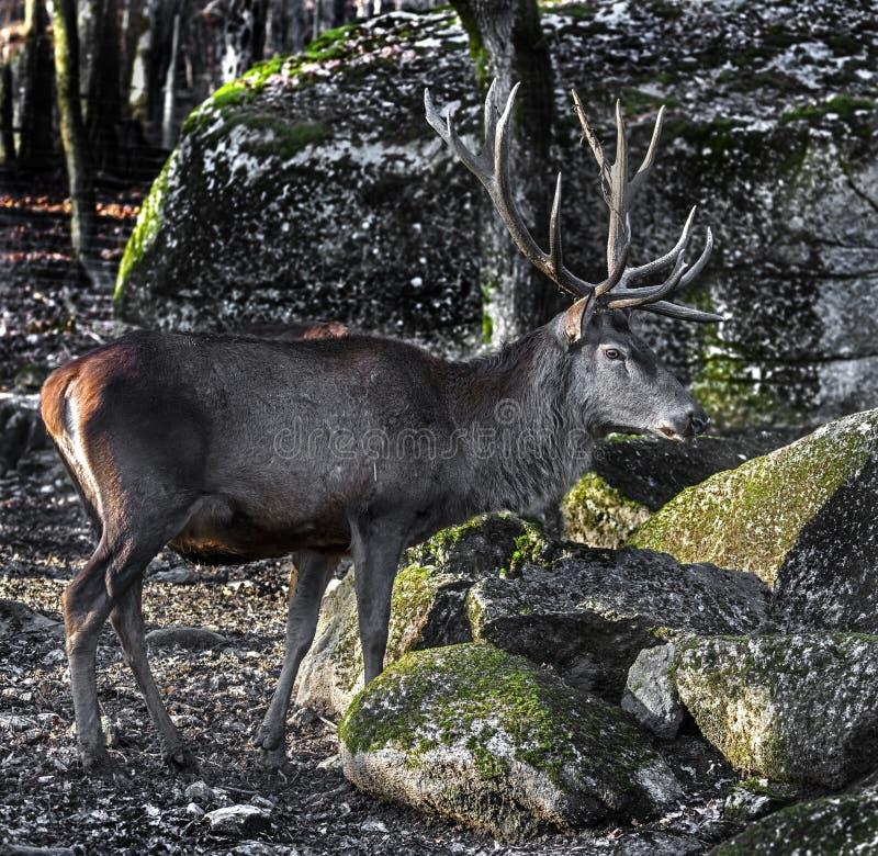 European red deer male 11 royalty free stock image