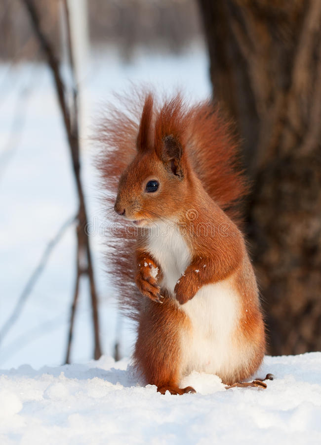 European red squirrel on snow. Beautiful european red squirrel Sciurus vulgaris eating a walnut on white snow between trees. Front view stock photography