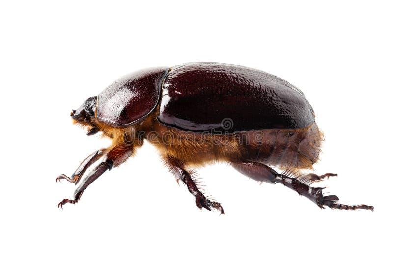 European rhinoceros beetle female royalty free stock image