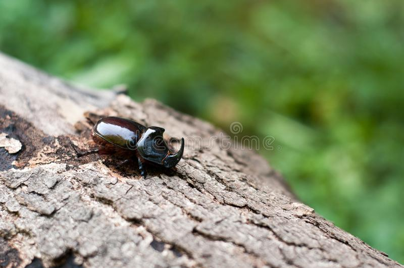 The European rhinoceros beetle on a tree royalty free stock images