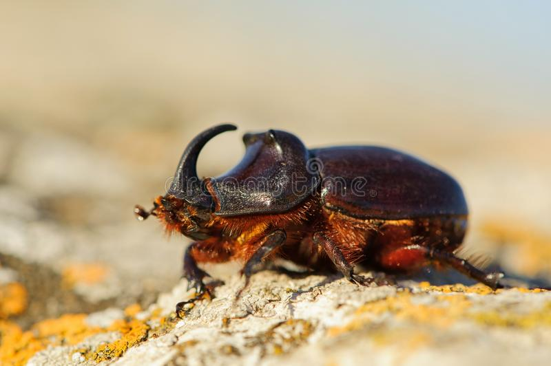 European rhinoceros beetle in the wild - Oryctes nasicornis royalty free stock images