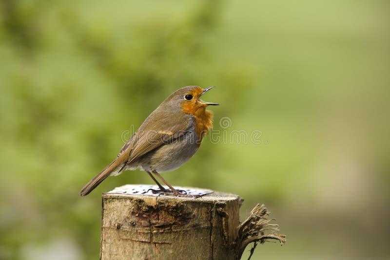 Download European Robin Stock Image - Image: 21998771