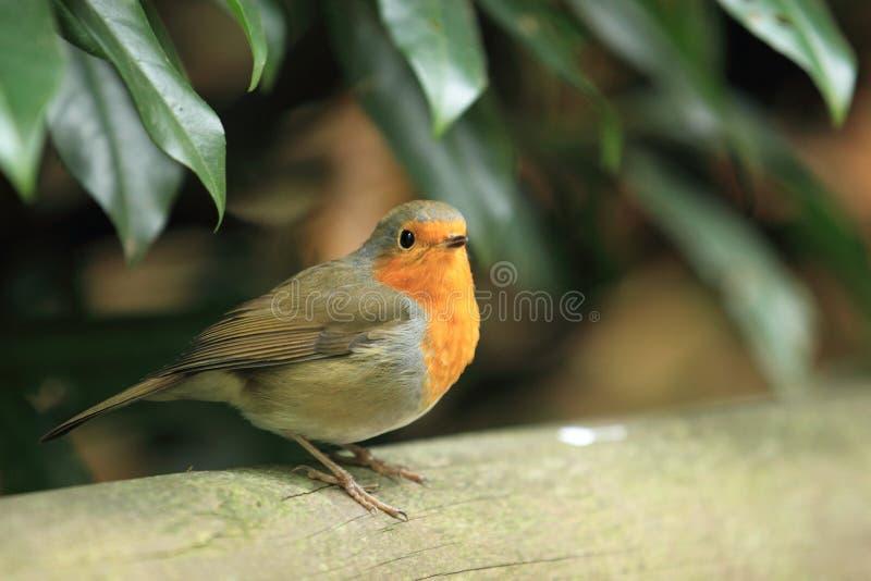 Download European robin stock photo. Image of robin, wood, european - 26813354
