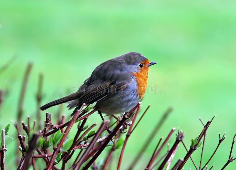 Download European robin bird stock image. Image of seasonal, garden - 14206699