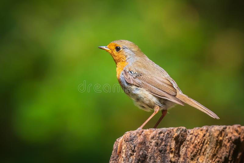 European robin bird Erithacus rubecula perched royalty free stock image