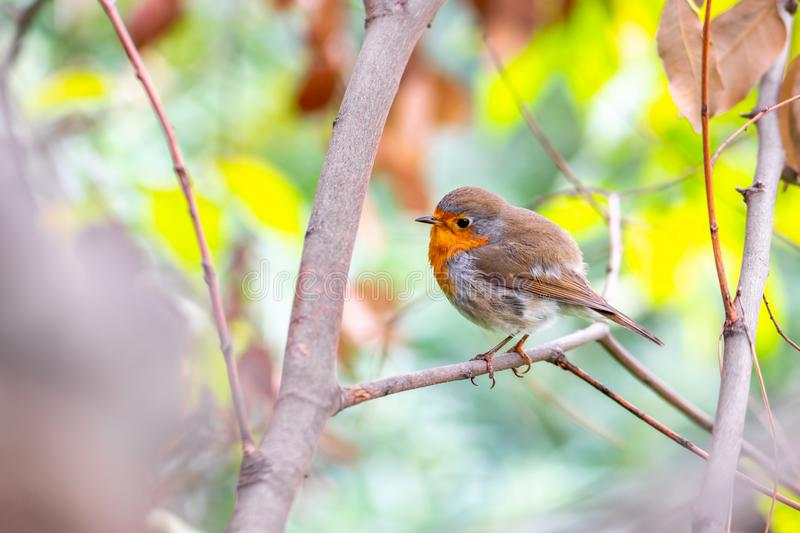 European Robin bird sitting on twig royalty free stock image