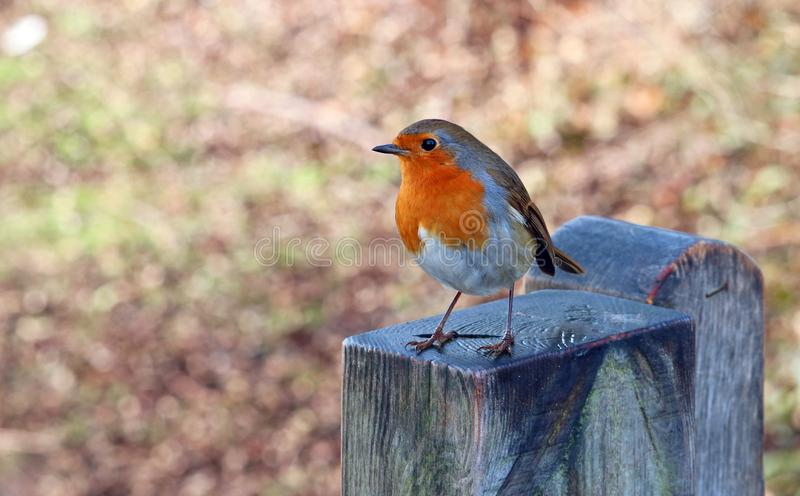 European Robin close up. Robin redbreast. European robin bird. Robin redbreast. Close up. On a fence post. Waiting for food royalty free stock photography