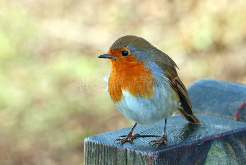 European Robin close up. Robin redbreast. European robin bird. Robin redbreast. Close up. On a fence post. Waiting for food stock photo