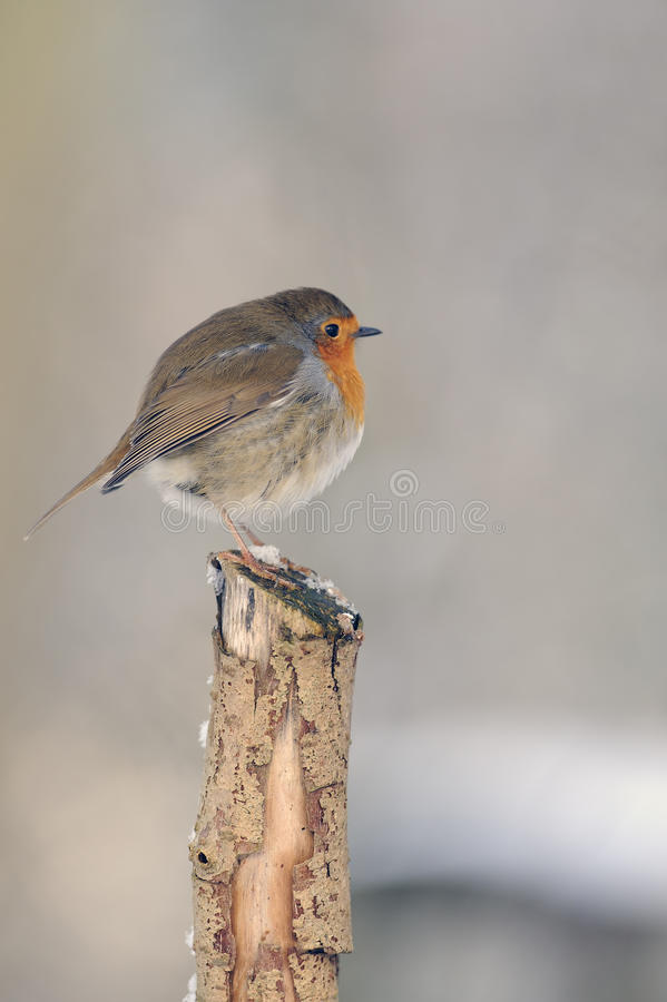 Download European Robin (erithacus Rubecula) Royalty Free Stock Photography - Image: 15942167