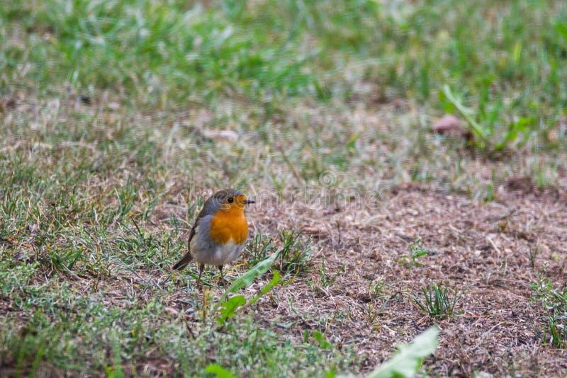European robin Erithacus rubecula bird stock photos