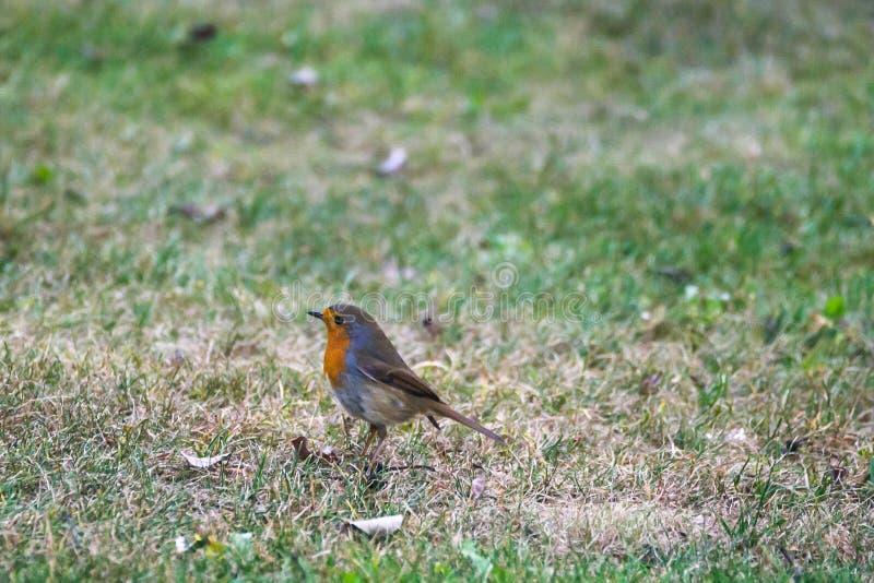 European robin Erithacus rubecula bird stock images