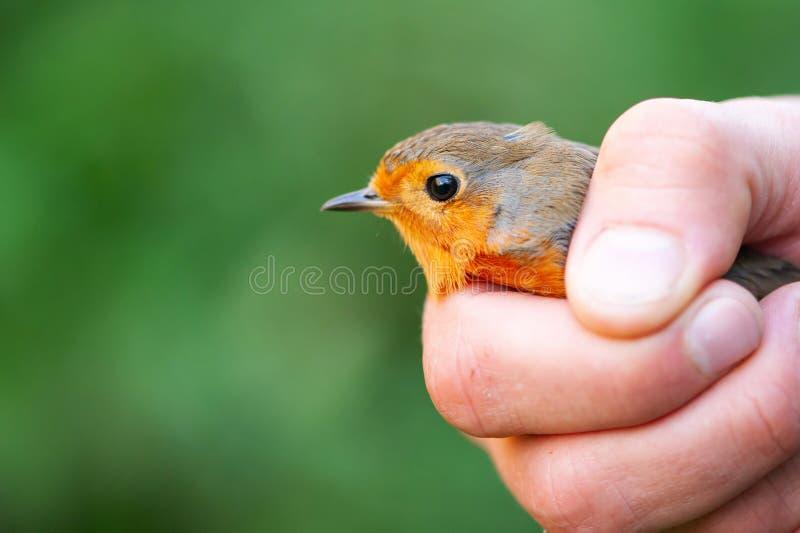 European robin Erithacus rubecula. Bird in the hands of man royalty free stock photo