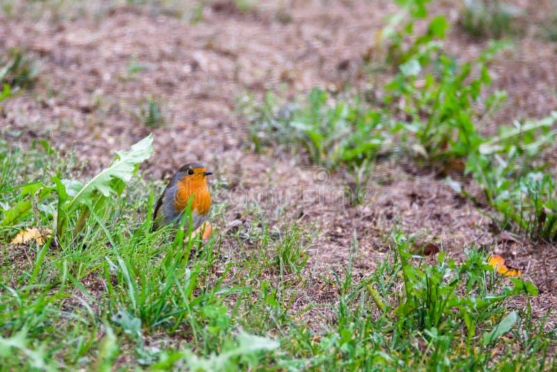 European robin Erithacus rubecula bird royalty free stock images