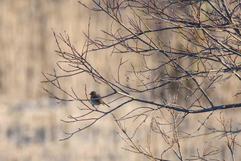 European robin Erithacus rubecula bird stock image