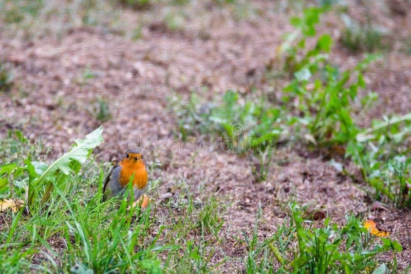 European robin Erithacus rubecula stock photo