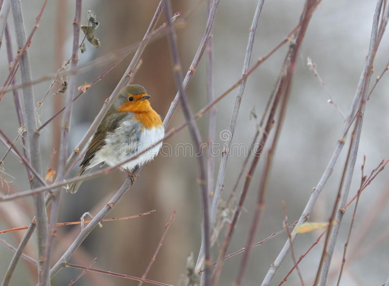 The European robin Erithacus rubecula stock photo