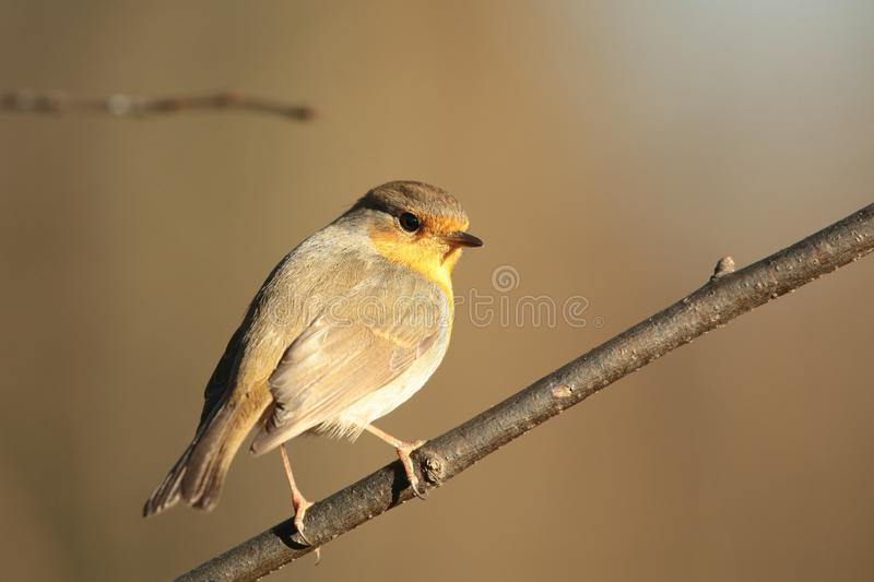 European Robin - Erithacus rubecula in the forest stock photography